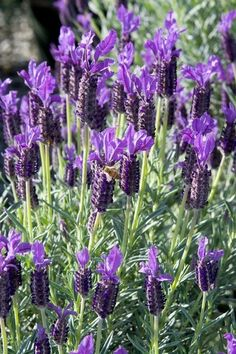 Spanish Lavender  --  Lavandula stoechas 'Winter Bee'