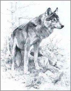 Carl Brenders - Wolf Study