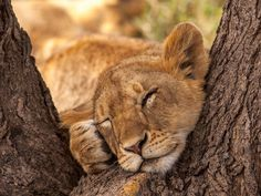 Lion Cub Conked Out in the Fork of a Tree.