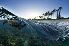 Turtle Split A Hawaiian sea turtle diving under the waves of the north shore of Oahu. by SeanDaveyPhoto