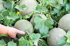 8 Tips for Growing The Sweetest Melons