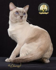 The Tonkinese we know today was developed in the and from the Siamese and Burmese breeds. Tonkinese Kittens, Purebred Cats, Cats And Kittens, I Love Cats, Cool Cats, Domestic Cat Breeds, Best Cat Breeds, Exotic Cats, Fancy Cats