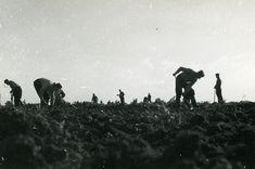 4472 | Noordoostpolder. Het Begreppelen van een terrein. 194… | Flickr