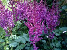 Live Perennial Shade Plant PURPLE RAIN Astilbe chinensis Deer Resistant ~Mid to Late Summer Flowers ~ Partial to Full Shade Hardy Zones 4-8