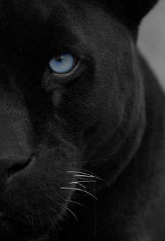 Panther -actually its just a black jaguar