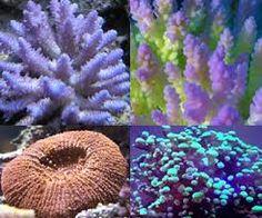 Resultado de imagem para corais