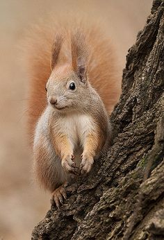 https://flic.kr/p/7kUx3p | Red squirrel | Gazing in the distance, scouting for nuts on the fallen leaves. Rested there for a minute and ran away in haste.   Take a closer look