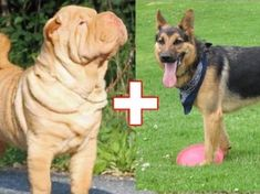 10 Adorable Dog Breed Mashups You Never Knew Existed!