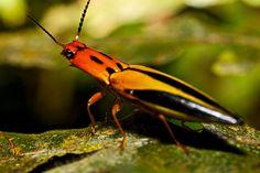 Colourful Click beetle (Semiotus sp.) by pbertner, via Flickr