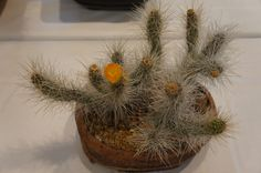 Echinocereus~ pensilis Great Hanging Basket Type Cactus Rooted 9.5 Tall Three Cactus You will receive the plant from the pictures #1P