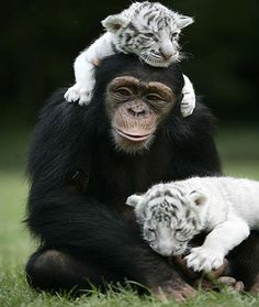 Chimp and White Tiger Cubs best friends