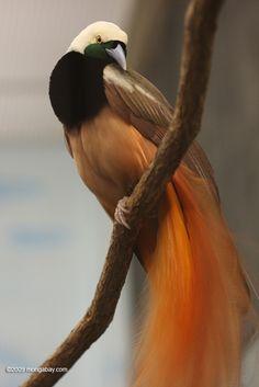 Birds of Paradise Raggiana Bird of Paradise