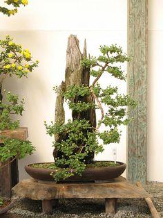 Chrysanthemum bonsai  | chrysanthemum bonsai | Flickr - Photo Sharing!