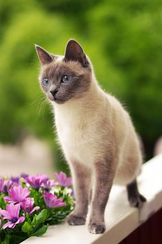 Siamese Beauty