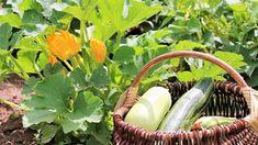 9 pravidel, jak správně pěstovat cukety. Recepty, co s cuketami dělat v kuchyni. Doporučené odrůdy cuket. Nejčastější chyby při pěstování cuket. Wicker Baskets, Gardening, Lawn And Garden, Horticulture, Woven Baskets