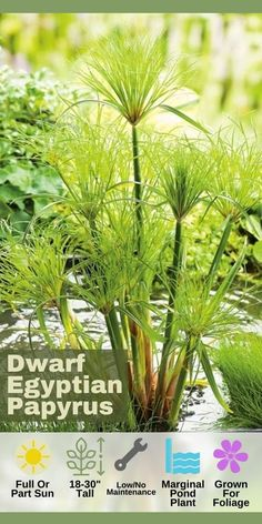 Dwarf Egyptian Papyrus stays relatively smaller compared to its taller cousin making it a good choice for container water gardens. Tall spikey tufts of green provide striking texture and contrast to flowering pond plants. In water environments dwarf papyrus is a marginal/bog plant. Grown as an annual north of zone 10. Water Garden Plants, Bog Plants, Container Water Gardens, Bog Garden, Container Plants, Green Plants, Container Gardening, Zone 10 Plants, Pond Life