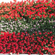 #absolutely #nofilter. It's #tulip #season in #istanbul and it's #beautiful! #flowers #love #life #alphasoscarmike