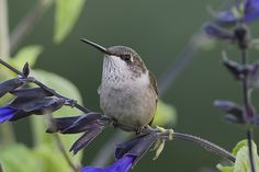 https://flic.kr/p/BLHXyc | If You Don't Bother Me I Won't Bother You_DSC7306 | Cute little Ruby-throated Hummingbird perched in the Salvia. First post of 2016. Happy New Year!
