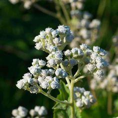 Quinine 'wild' - (Parthenium integrifolium)
