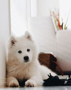 "This Samoyed puppy looks almost identical to my ""grand-puppy"". She has enough energy for THREE dogs! Cute Puppies, Cute Dogs, Dogs And Puppies, Doggies, Teacup Puppies, Animals And Pets, Baby Animals, Cute Animals, Beautiful Dogs"