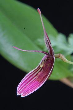 Miniature-orchid / Micro-orquidea: Restrepia purpurea - Flickr - Photo Sharing!