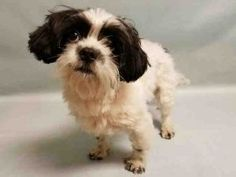 SAFE 12/20/16 My name is OREO. My Animal ID # is A1087058. I am a male black and white shih tzu mix. The shelter thinks I am about 1 YEAR 4 MONTHS old.  I came in the shelter as a OWNER SUR on 12/16/2016 from NY 10452, owner surrender reason stated was INAD FACIL.