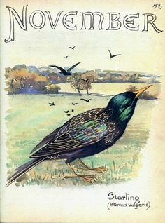 November - Vintage Botanical Book Page - Starling - Country Diary of an Edwardian Lady - Edith Holden Edith Holden, Vintage Birds, Vintage Art, Fuchs Illustration, Art Et Nature, Nature Collage, Nature Prints, Journal Vintage, Grafik Art