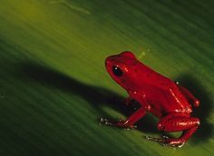 Red Frog from Bocas Del Toro - Panama City, Panama ( I've been here so cool)