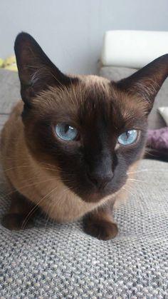 シャム猫さんは超美猫!宝石の様な目が美しいシャム&ヒマラヤン猫画像20選 , もふぬこ戦記