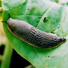 How To Get Rid Of Slugs with homemade remedies - LivingGreenAndFrugally.com