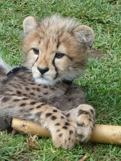 'Harris' male king cheetah cub | Flickr: Intercambio de fotos