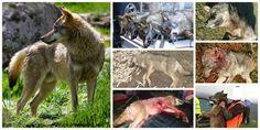 #DiadelaTierra Tan cerca como el #lobo ibérico. Tan lejos como los q los deberían  protegerhttp://domandoallobo.blogspot.com.es/2016/02/159-si-felix-rodriguez-levantara-la.html