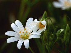 Heinrich Wilhelm: Die Blüte der Großen Sternmiere - Leinwandbild auf Keilrahmen