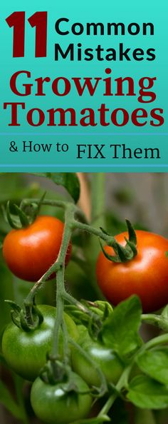 Common mistakes made when growing tomatoes can be avoided if you know how to fix them. Nothing is more frustrating when you make a mistake and your tomato crop fails. Learn about 11 common mistakes people make growing tomatoes. Tips For Growing Tomatoes, Growing Tomato Plants, Growing Tomatoes In Containers, Growing Herbs, Growing Vegetables, How To Grow Tomatoes, Growing Tomatoes Indoors, Container Vegetables, Container Gardening