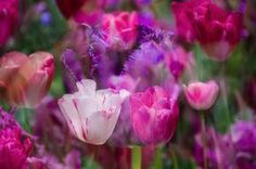 Layers of Tulips by Penny Lisowski