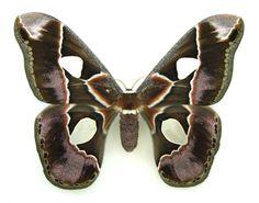 atlas moth Rothschildia lebeau SET TS FM x1 A1- saturniidae lepido Costa rica | eBay