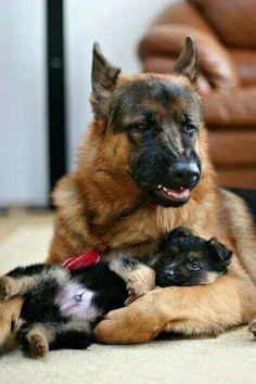 Rockabye, baby.... shepherd style. So sweet! #dogs #doglovers