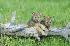 młode wilczki