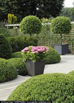 Containers with Bay trees and flowering hydrangeas and topiary mounds - Garden Wille in Belgium