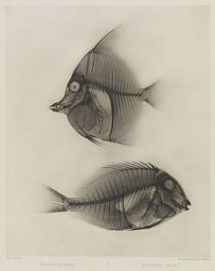 Zwei Seefische, Zanclus Cornutus / Acanthurus Nigros, 1896, Eduard Valenta and Josef Maria Eder, National Media Museum, Bradford / SSPL. Creative Commons BY-NC-SA