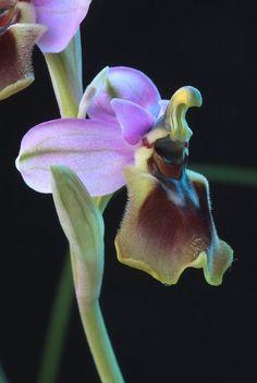 Ophrys Tenthredinifera | Ophrys tenthredinifera; by Lepanthes2010, via Flickr