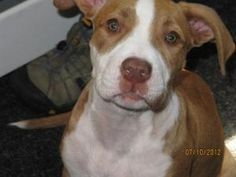 Lucky is an adoptable Pit Bull Terrier Dog in Milford, PA. Lucky 14 week old rescued from NYACC great with all utd neutered and ready for a home to call his own All of our animals are examined by a ve...