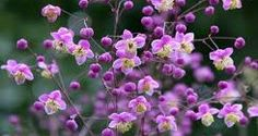 A. Thalictrum rochebrunianum, ruit