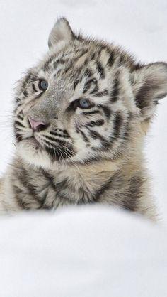 Pensive tiger cub.