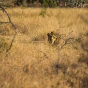 Tracking Instincts | krazywithtravel African Wild. Sabi Sand. Kruger National Park. Lion Summit Lake, Spring Lake, Kruger National Park, African Safari, Narnia, Lion, Wildlife, Track, Runway