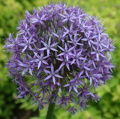 Gladiator Allium. garden-stories.com
