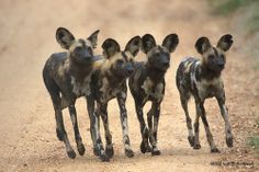 Wild Dogs  | Flickr - Photo Sharing!