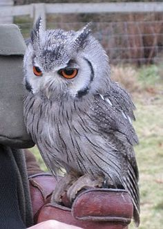 Southern White Faced Owl - i love me some owls