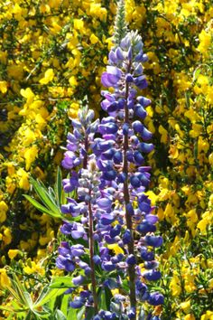 Lupine and broom, long depth of field.  Grand and highway 14, Vancouver, WA.  05/2012.
