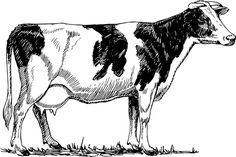 Cattle, Cow, Animal, Biology